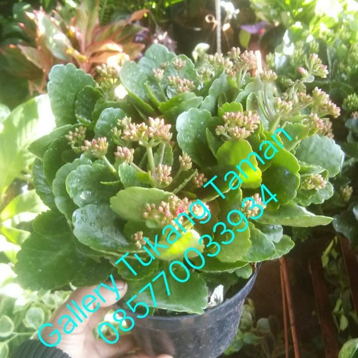Jual Tanaman Hias Cocor Bebek Pohon Sosor Bebek Bunga Cocor Bebek Kab Bogor Gallery Tukang Taman Tokopedia