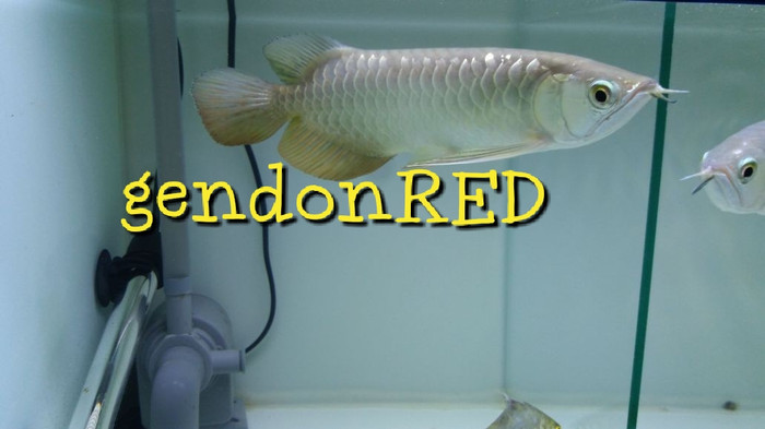 harga Arwana golden red hiback Tokopedia.com