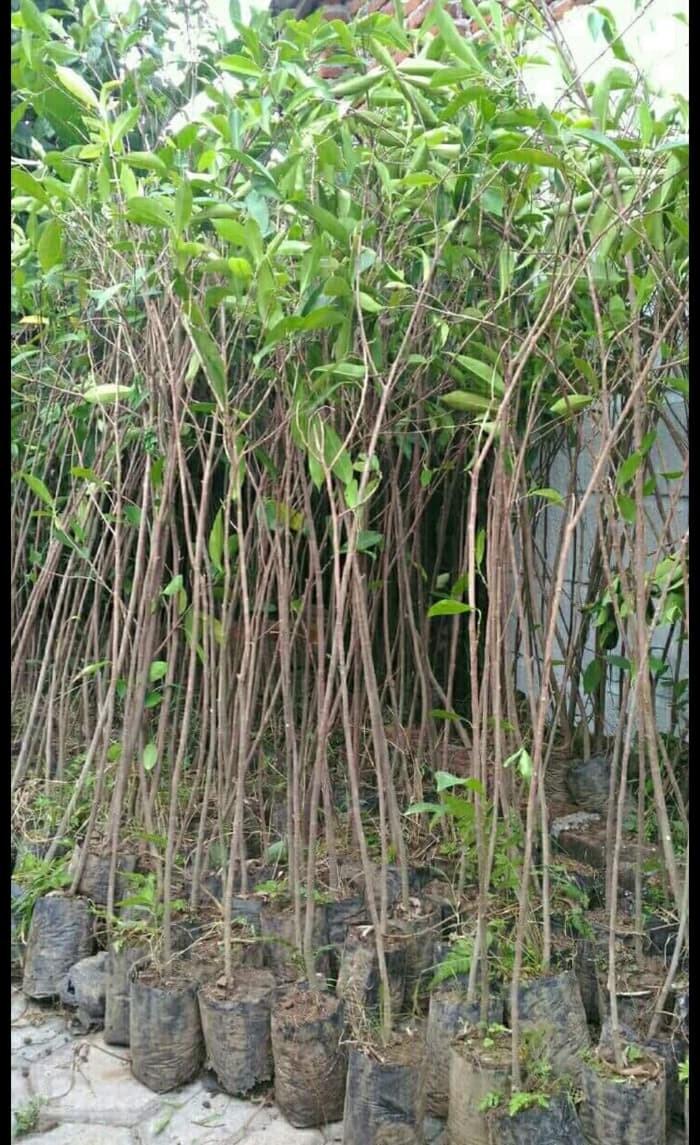 Jual Sedia 5 Bibit Pohon Beringin Bringin Ringin Benih Biji Bibit Kota Batu OKB Shop