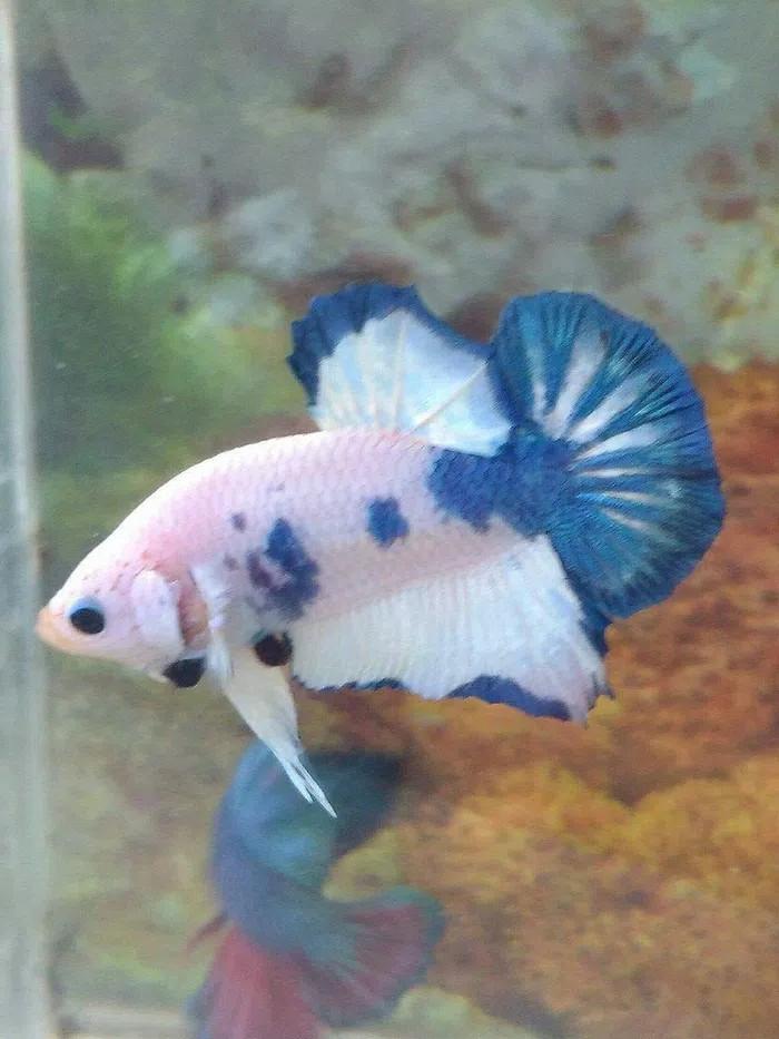 harga Ikan cupang plakat marble blue halfmoon impor import guppy kutu air Tokopedia.com