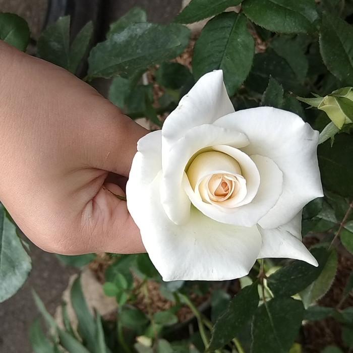 Jual Tanaman Bunga Mawar Putih Jakarta Timur Rumah Delima Tokopedia