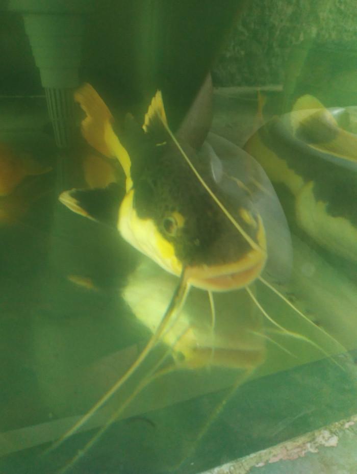 harga Ikan red tail catfish/rtc/predator Tokopedia.com