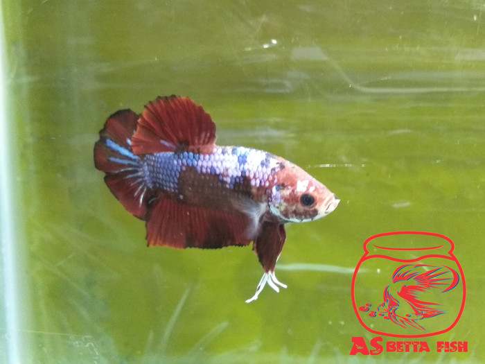 Betta Splendens - Cupang Hias Giant Plakat Fancy
