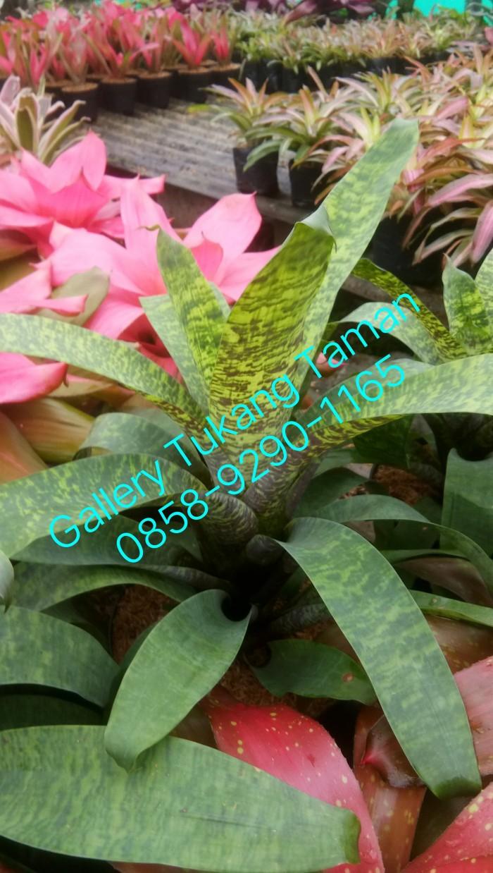 Jual Tanaman Bromelia Hybrid Bromelia Toke Kab Bogor Gallery Tukang Taman