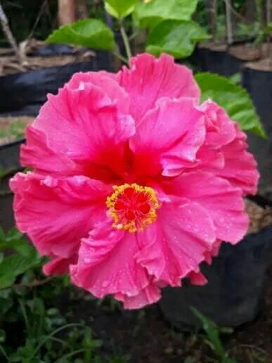 Jual Tanaman Bunga Sepatu Pink Tumpuk Kota Batu Mahameru Flora Tokopedia