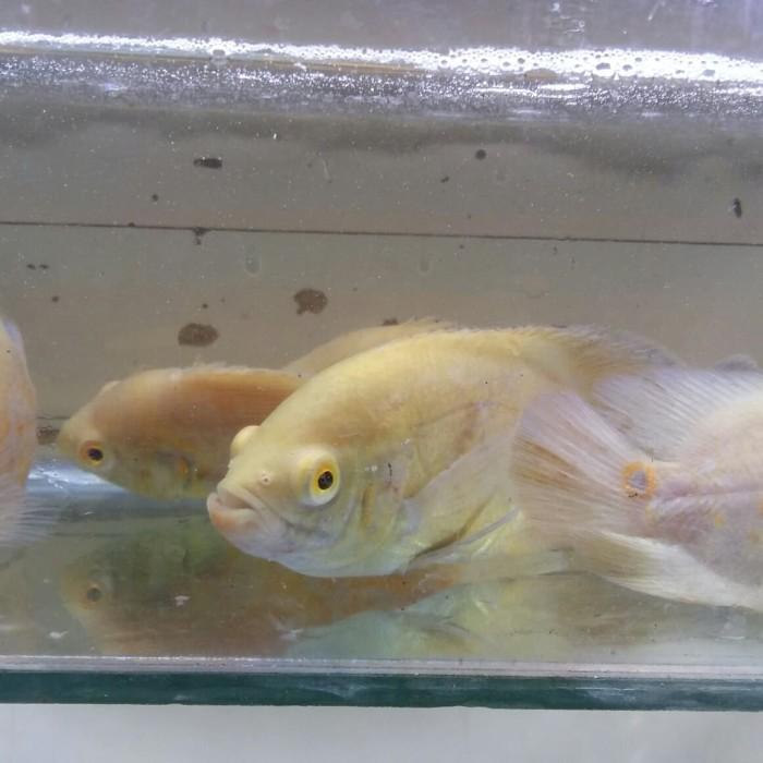 Katalog Ikan Oscar Travelbon.com