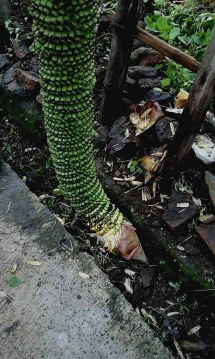 Jual Tanaman Pohon Pisang Seribu Buah Jenis Super Kota Surabaya Surabaya Green Plants