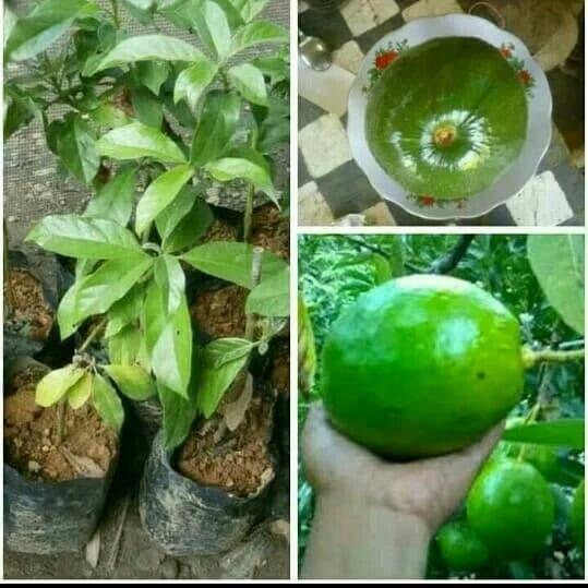 harga Paket 3 bibit tanaman hidup buah alpukat kendil super jumbo Tokopedia.com