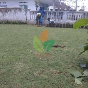 Bibit Bunga Benih Anggur Mixed 15 Biji - Maica Leaf. Source · Bibit Rumput Golf