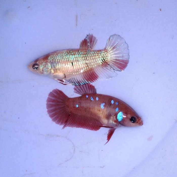 harga Ikan cupang hias betina plakat red galaxy & fancy Tokopedia.com