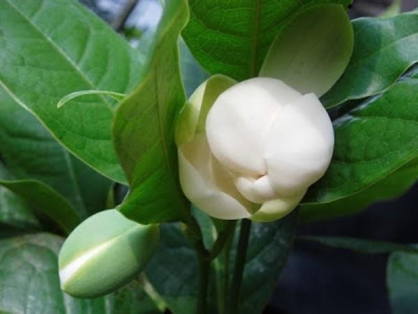 Jual Bunga Cempaka Telur Putih Magnolia Coco Kota Batu Bungaku Tanaman Hias Tokopedia