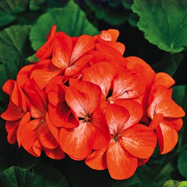 ... Bibit Online Source · Bunga Geranium Orange