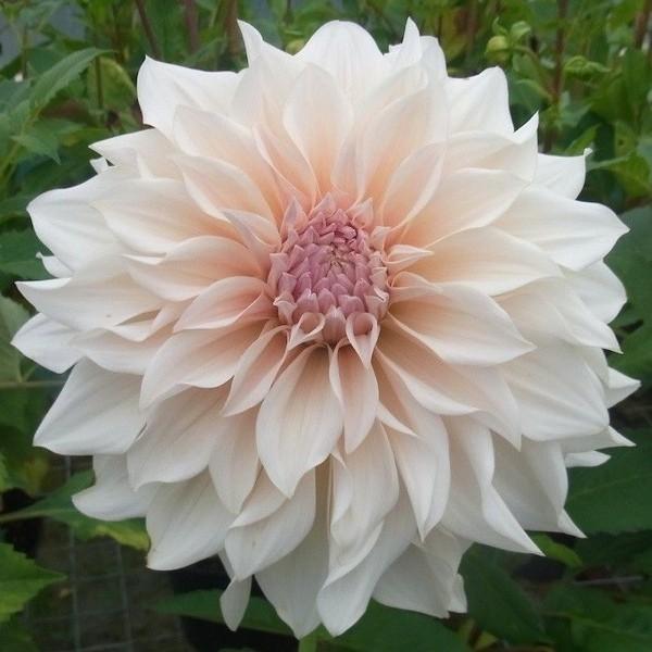 Jual Bunga Dahlia Mini White Kota Batu Bungaku Tanaman Hias