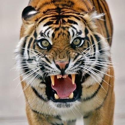 Gambar Harimau Jantan Hd Terbaru Infobaru