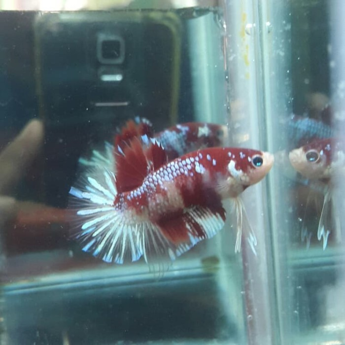 Ikan Cupang Samurai