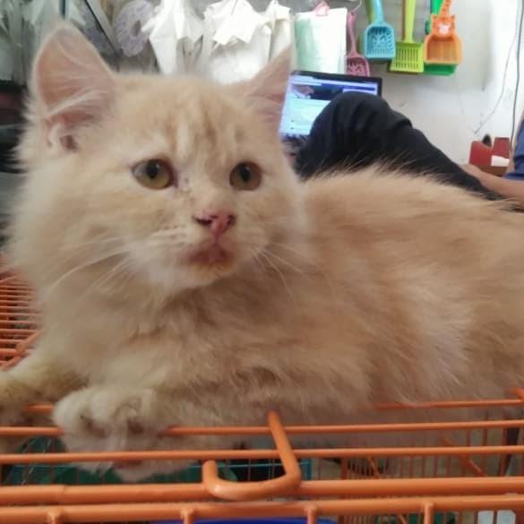 Gambar Kucing Persia Medium Umur 3 Bulan 81021 Nama Untuk Kucing Comel Lucu Dan Unik
