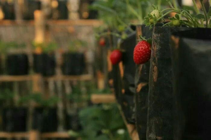 Bibit Tanaman Buah stroberi | strawberry | sudah adaptasi daerah panas