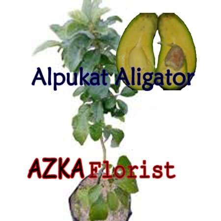 harga Paket 10 bibit tanaman buah alpukat aligator unggul Tokopedia.com