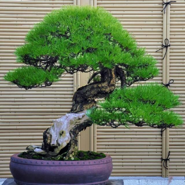 Benih Bibit Biji Japanese Pine Tree Biji Pohon Pinus Thunbergii