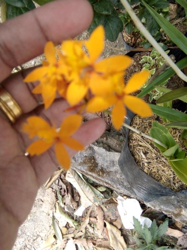Jual Tanaman Hias Anggrek Epidendrum Secundum Atau Anggrek Merpati