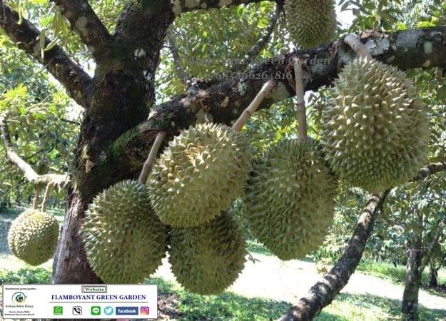 Tanaman Buah Durian Duri Hitam Super Unggul Cepat Berbuah
