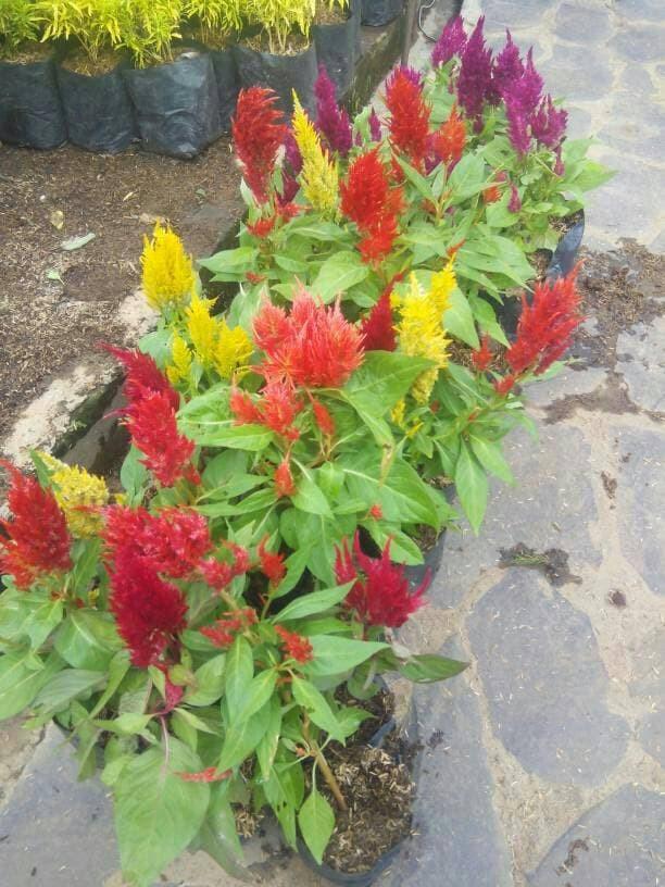 Jual Tanaman Hias Jengger Ayam Bunga Merah Dan Kuning Tanaman Hias Bunga Kab Bogor Putri Taman 1 Tokopedia