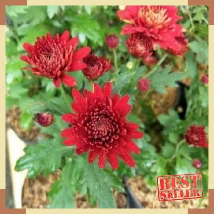 Jual Tanaman Hias Bunga Aster Merah Kota Bandung Ziankapuay Tokopedia