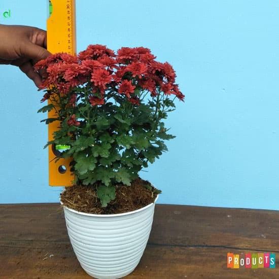 Foto Produk Tanaman krisan bunga merah / chrysanthemum red dari ibad garden