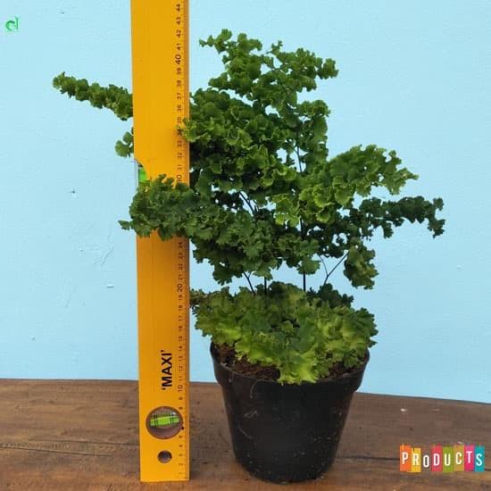 Foto Produk Tanaman suplir daun kecil / adiantum raddianum dari ibad garden