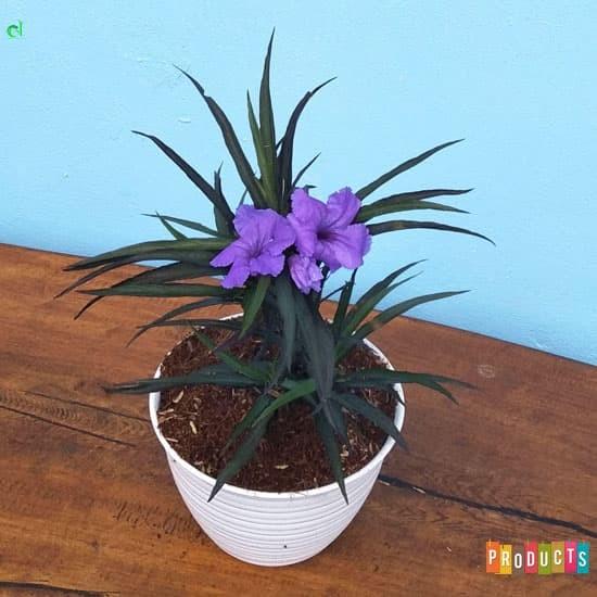 Foto Produk Tanaman hias ruellia bunga ungu / Ruellia brittoniana Katie purple dari ibad garden