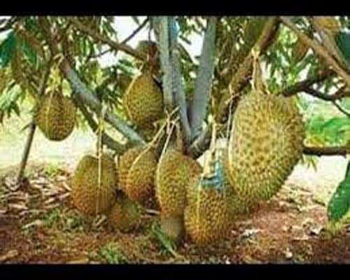 101 Gambar Pohon Durian Musang King Terbaik