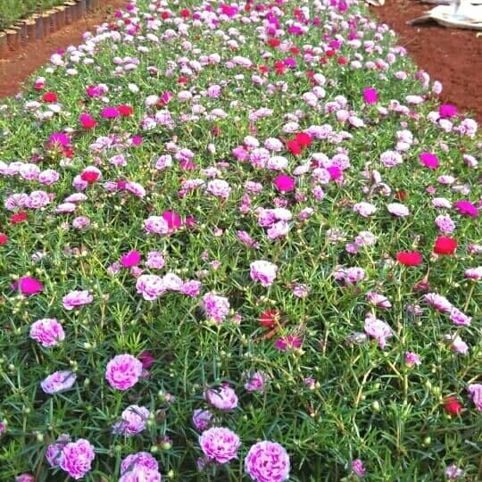 Jual Bunga Mossrose Portulaca Krokot Bunga Pukul Sembilan Kota Depok Saung Flora Tokopedia