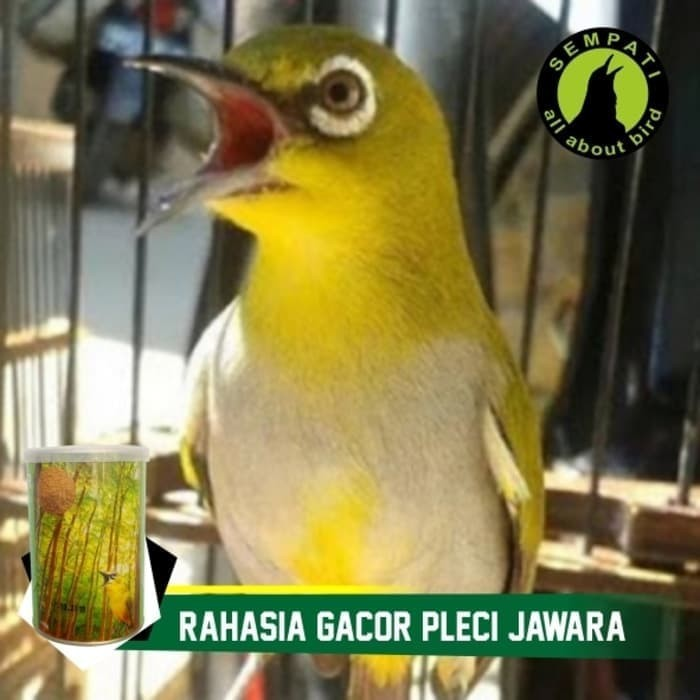 Jual TOP FIGHTER PLECI ORIENTAL WHITE EYE SEMPATI PAKAN BURUNG PLECI ... 79d13069a7