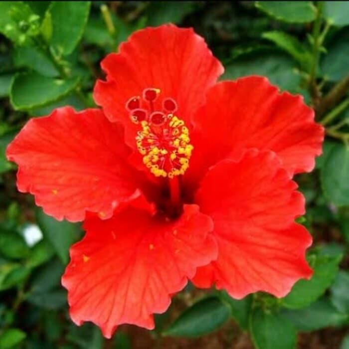 Jual Tanaman Bunga Kembang Sepatu Warna Merah Kota Tangerang Selatan Dhea Foresta Tokopedia