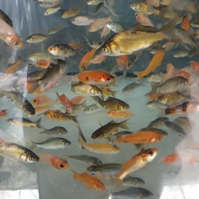 Jual Anak Ikan Mas Makanan Ikan Predator Ukuran 5 6 Cm 20 Ekor