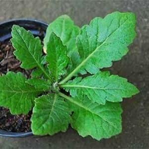 Jual Bibit Pohon Daun Dewa Obat Herbal Kota Bogor Cahyadimulya Tokopedia