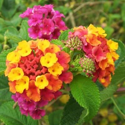 Foto Produk Biji Benih Bibit Bunga Lantana camara dari Biji Benih