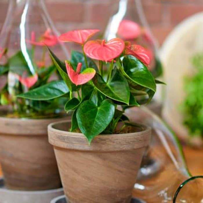 Foto Produk Tanaman hias Bunga anthurium pink mini /Anthurium miki mouse pink dari ibad garden