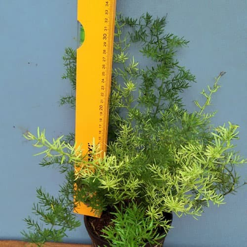 Foto Produk Tanaman hias pot asparagus springeri / Bisa indoor ataupun outdoor dari ibad garden