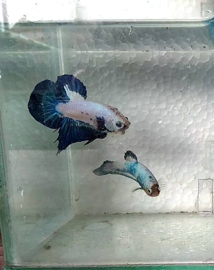 Jual Ikan Cupan Blue Rim Ori Thailand Mijen Jackstore16 Tokopedia