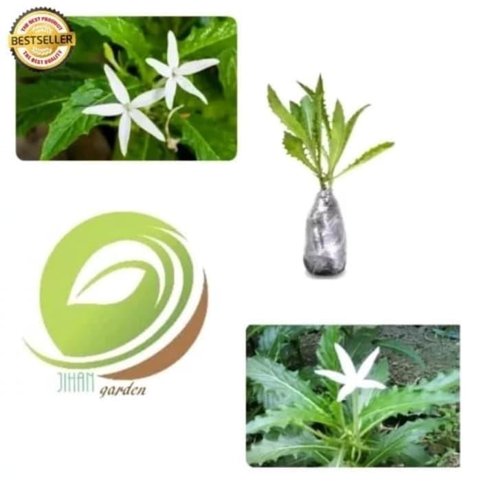 bibit tanaman daun kitolo/pohon kitolo/kitolod (obat herbal)