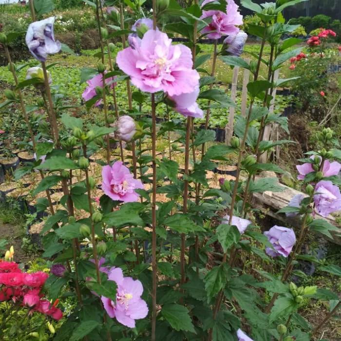 Bibit Tanaman Hias Hibiscus Ungu