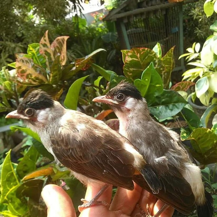 Jual Lolohan Kutilang Kota Bogor Bandar Burung Lolohan Tokopedia