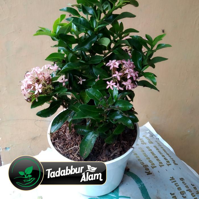 Jual Tanaman Asoka Jambon Bunga Pink Dalam Pot Kab Bogor Tadabbur Alam Tokopedia