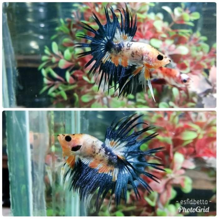 87 Gambar Ikan Cupang Crowntail HD Terbaru