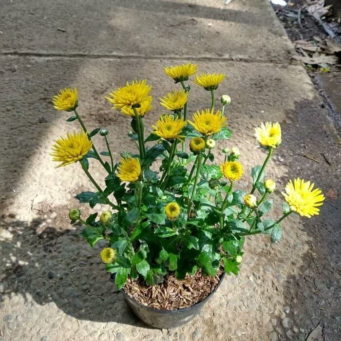 Jual Tanaman Bunga Aster Kuning Krisan Aster Kuning Kab Bogor Herbanursery Tokopedia