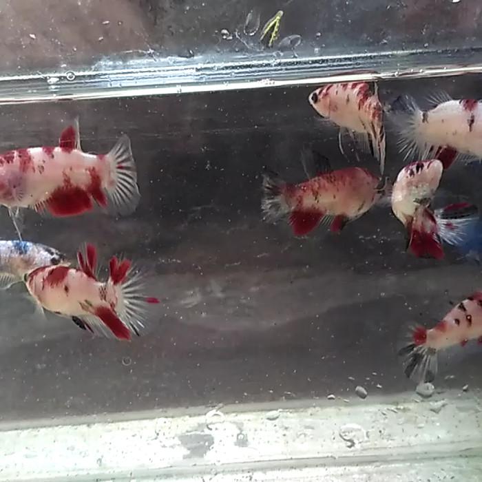 Jual Ikan Cupang Koi Betina Kab Bantul Teman Ikan Tokopedia
