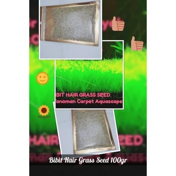 Tanaman Bibit Benih Hair Grass Seed Tanaman Carpet Aquascape