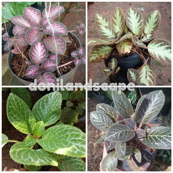 Jual Tanaman Hias 4 Paket Pot Gantung Episcia Begonia Bludru Beludru Kab Bogor Doni Landscape Tokopedia