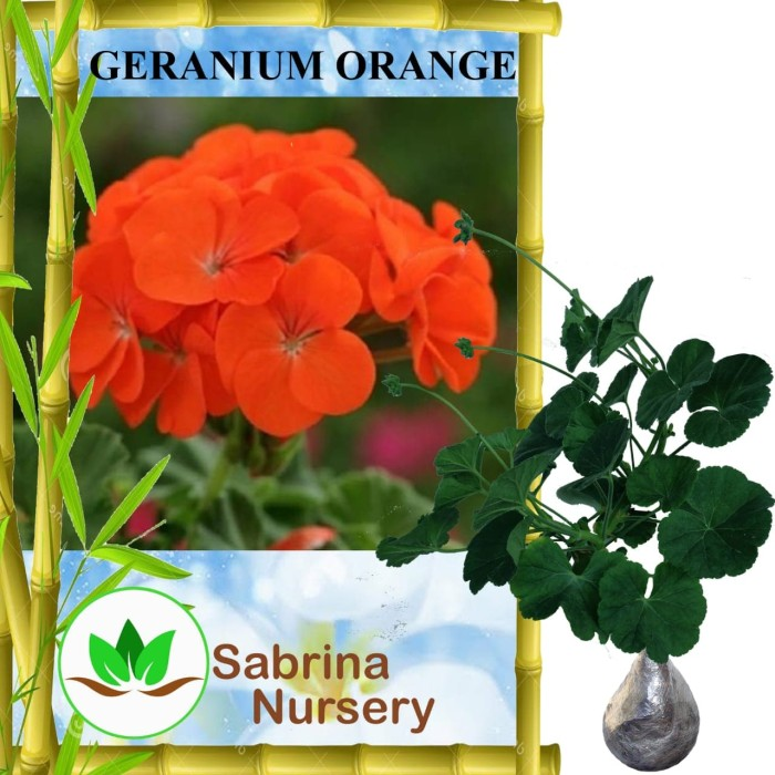 Jual Tanaman Geranium Barbie Pink Bibit Online Source · Tanaman Orange Geranium
